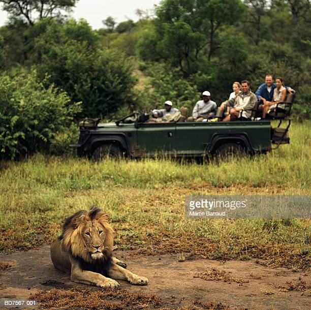 safari group watching lion (panthera leo) from 4x4 - wildlife reserve stock pictures, royalty-free photos & images