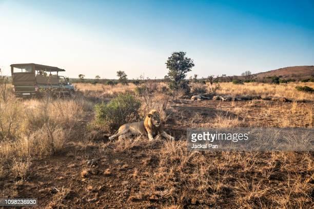 safari in kruger national park - safari stock pictures, royalty-free photos & images