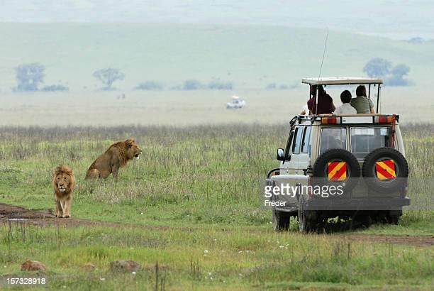 A safari jeep near a pride of lions in a field