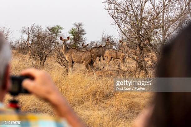 safari photohunting - limpopo province stock pictures, royalty-free photos & images