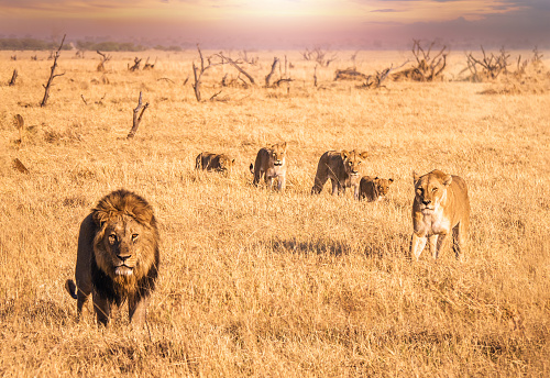 A safari scene of a lion pride, including a male lion and his lioness, and four cubs together in the long dry grass in Botswana. 1013474010