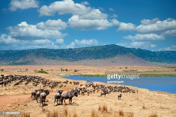 safari vehicles in between large herds of animals, ngorongoro crater, tanzania - ngorongoro conservation area stock pictures, royalty-free photos & images