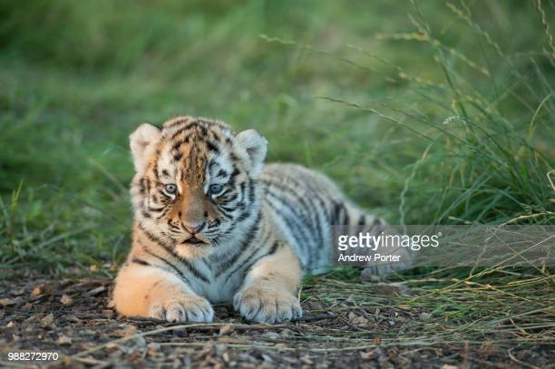 a safe distance - tiger cub stock photos and pictures