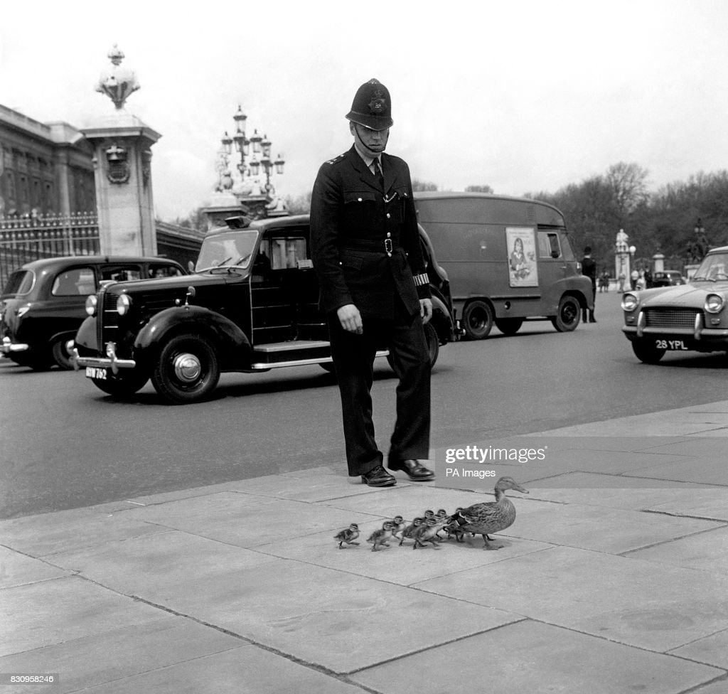 Animals Road Crossing Ducks London Pictures Getty Images