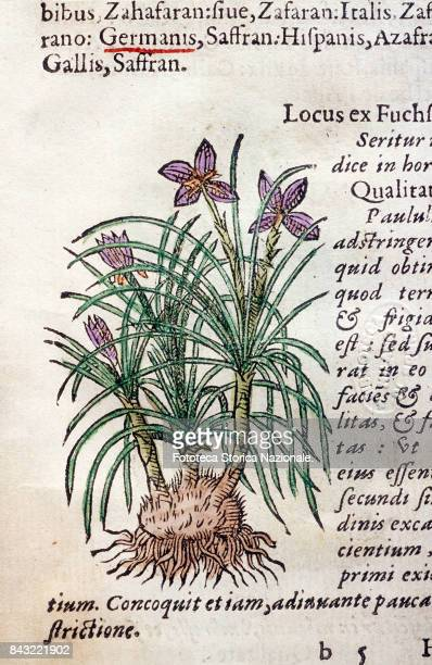 Saffron At the top the name of the plant in the most common languages Page from 'Historia plantarum Earum imagines nomenclaturae qualitates et native...