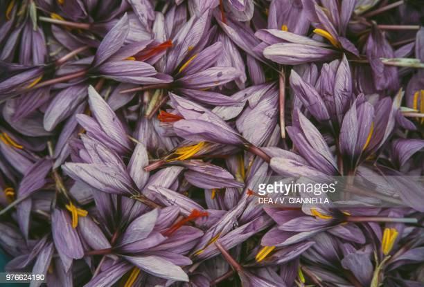 Saffron crocus flowers, Gran Sasso national park, Abruzzo, Italy.