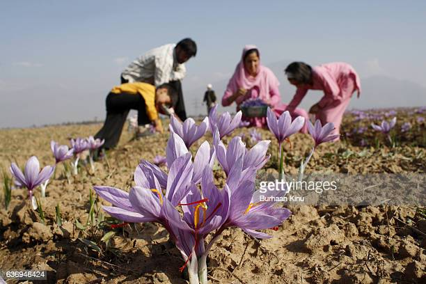 saffron fields, kashmir - burhaan kinu stock photos and pictures