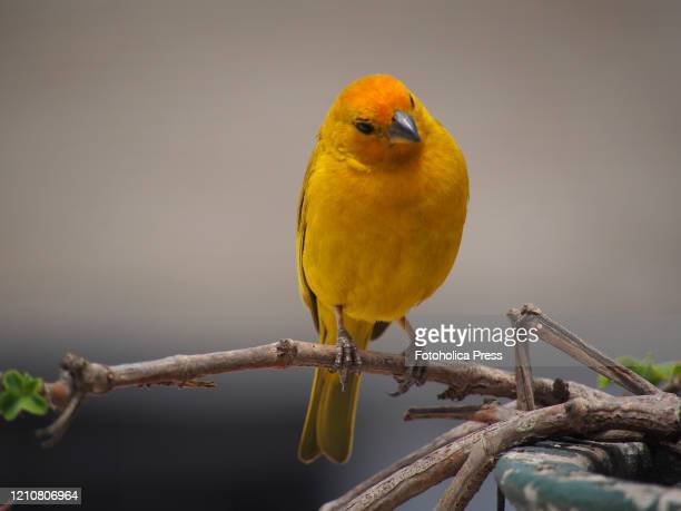 Saffron Finch also called Roof Canary, from Tanager family of birds, standing on a twig.