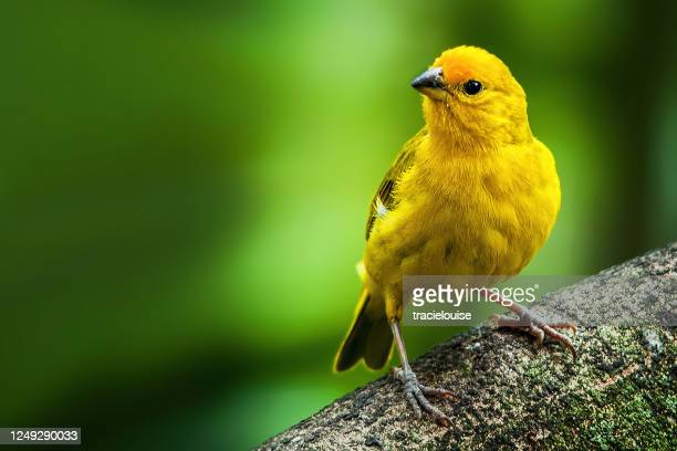 saffron finch - songbird stock pictures, royalty-free photos & images