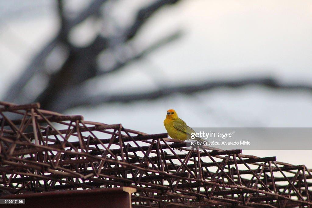 Saffron Finch (Sicalis flaveola) : Stock Photo