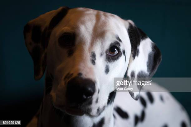 Saga a 10monthold Dalmatian poses for a photograph on the second day of Crufts Dog Show at the NEC Arena on March 10 2017 in Birmingham England First...