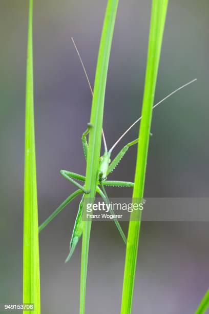 saga pedo bush cricket (sago pedo), female on grass blade, pleven province, bulgaria - pedo stock pictures, royalty-free photos & images