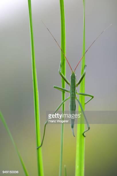 saga pedo bush cricket (sago pedo), juvenile on grass blade, pleven province, bulgaria - pedo stock pictures, royalty-free photos & images