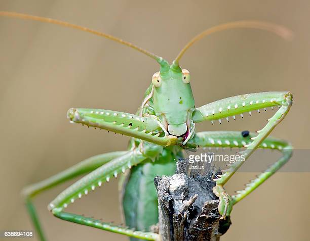 saga pedo - cricket insect stock photos and pictures