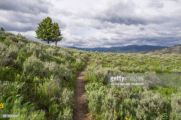 sage brush, yellowstone national park, wyoming, usa - artemisia stock pictures, royalty-free photos & images