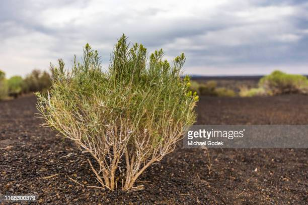 sage bush in volcanic rock near craters of the moon idaho - sagebrush stock pictures, royalty-free photos & images