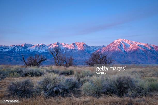 Sage Cottonwoods and the Sierra Nevada Mountains at sunrise near Bishop California