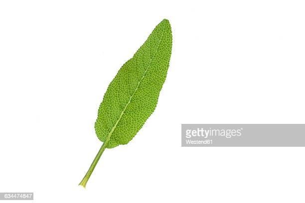 Sage, garden sage, Salvia officinalis, leaf, white background