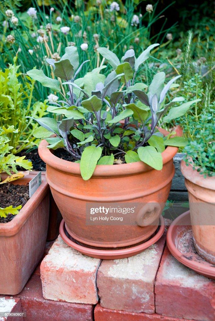 Sage (Salvia) herb in earthenware pot in garden : Stock Photo
