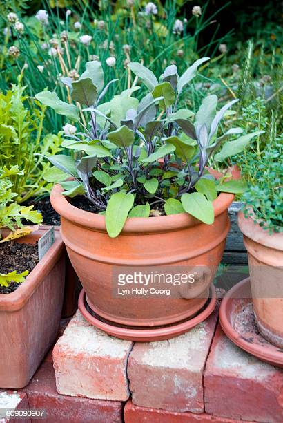 sage (salvia) herb in earthenware pot in garden - lyn holly coorg stock-fotos und bilder