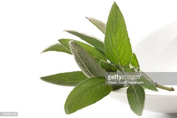 Sage leaves (Salvia officinalis), close-up