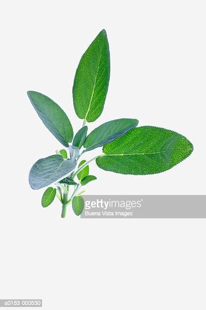 sage - artemisia stock pictures, royalty-free photos & images