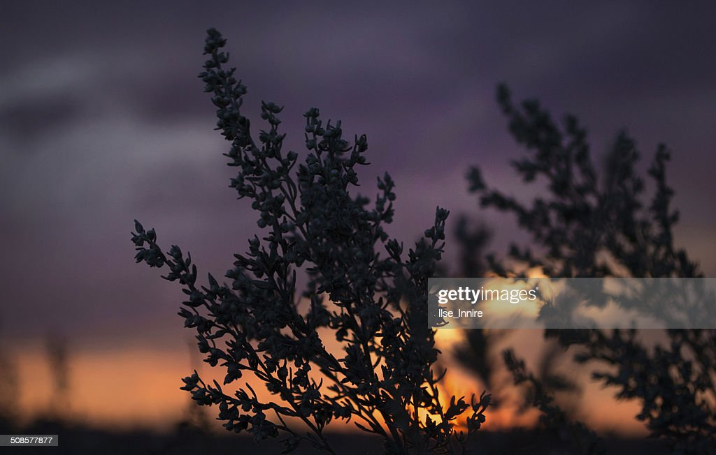 Sagebrush : Stock Photo