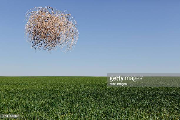 sagebrush, tumbleweed blowing across a field of growing wheat crop in the farmland around pullman, washington, usa - tumbleweed stock photos and pictures