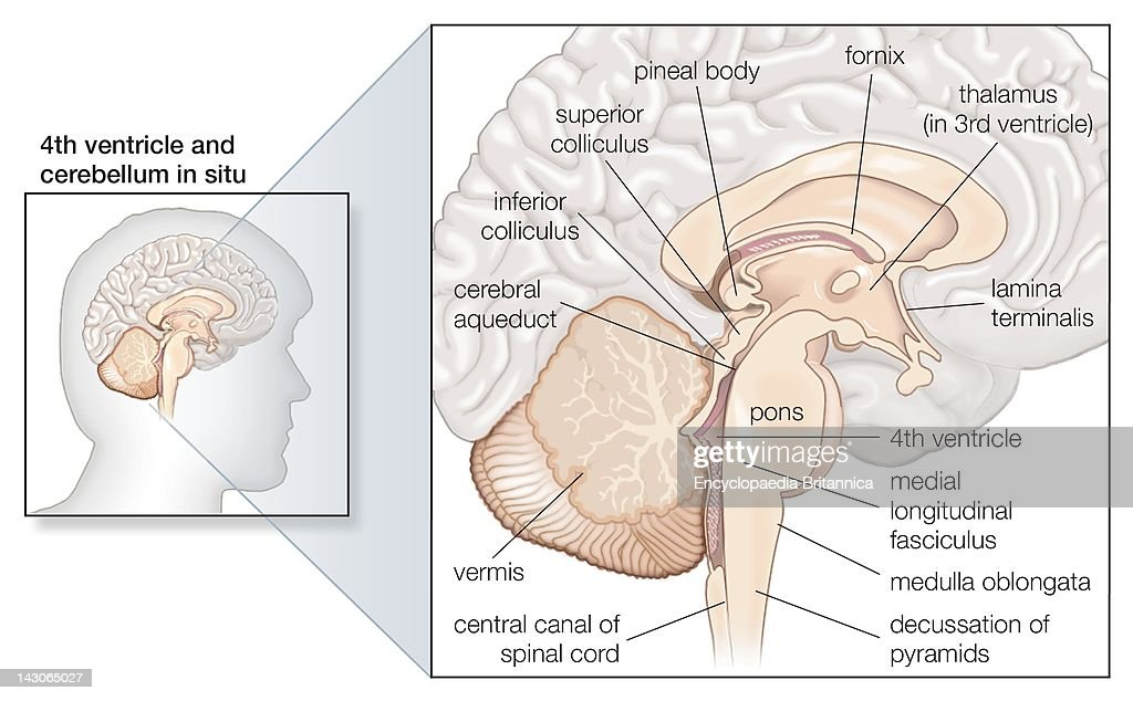 Sagittal Section Of The Human Brain, Showing Structures Of The ...