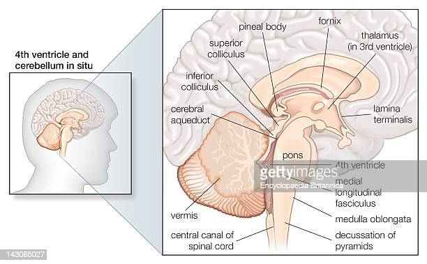 Sagittal Section Of The Human Brain Showing Structures Of The Cerebellum Brainstem And Cerebral Ventricles