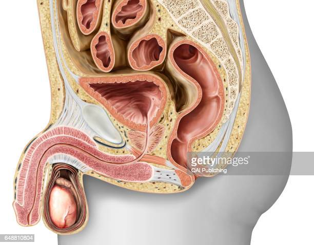 Sagittal section of the male genital organs The genital organs that make up the male reproductive system ensure the sexual and endocrine functions...