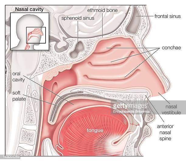 Nasal Cavity Stock Photos And Pictures