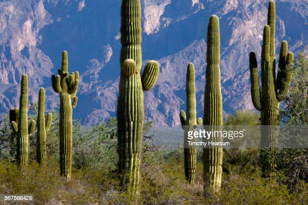 saguaro cacti and other desert plants against mountain backdrop - timothy hearsum stock pictures, royalty-free photos & images