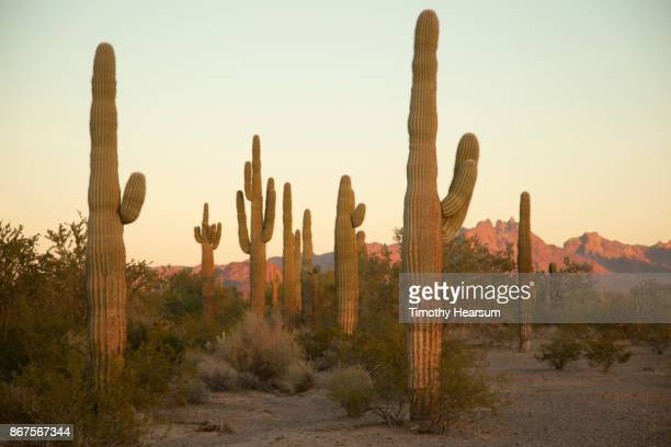 Saguaro cacti and other desert plants with mountains and sky beyond