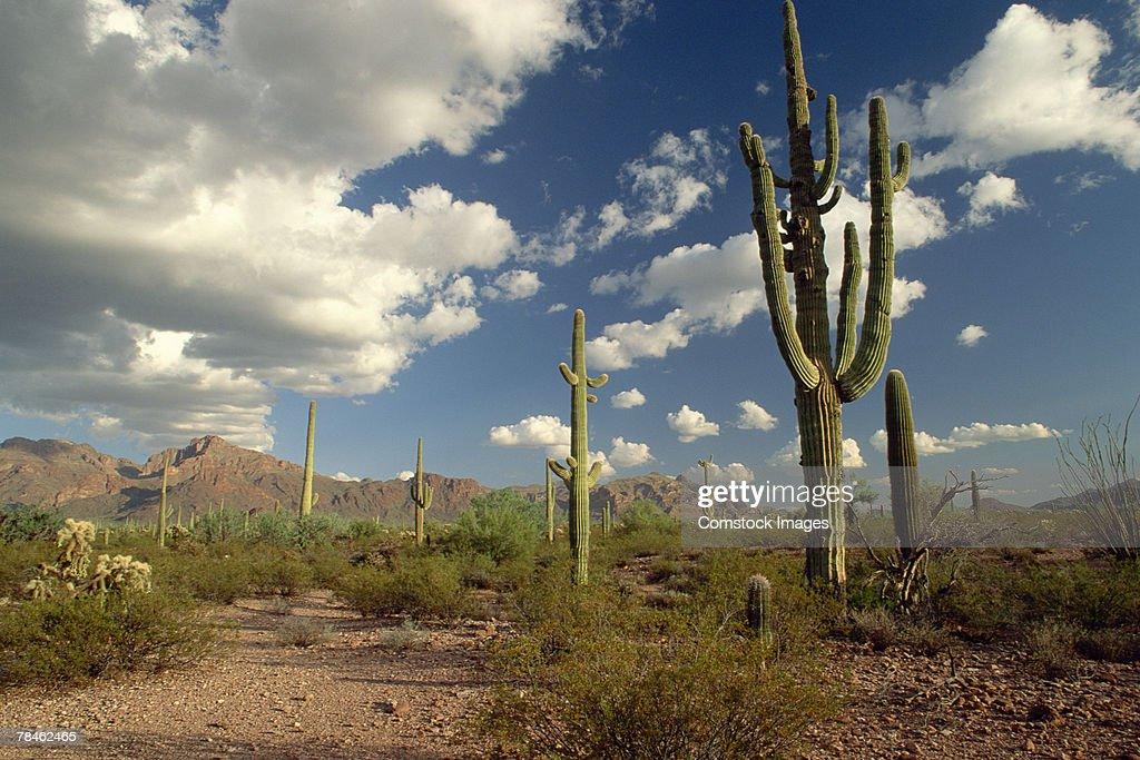 Saguaro cacti and Rio Mountain. Oragan Pipe National Monument, Arizona : Stock Photo