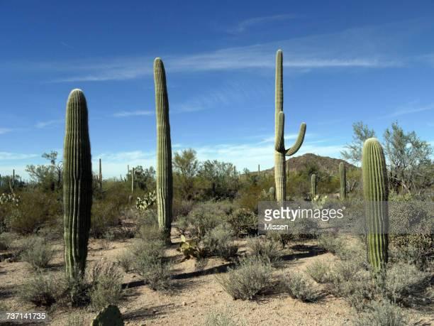 Saguaro cacti, Arizona, America, USA