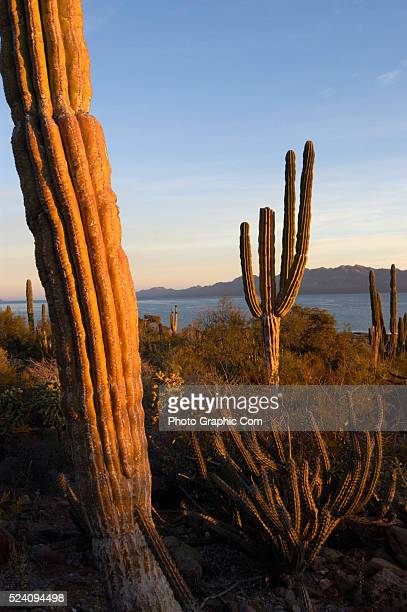 Saguaro cacti guard the shores of the Bahia de Concepcion near the city of Loreto in Mexico's Baja California The isolated beaches an eighteen hour...