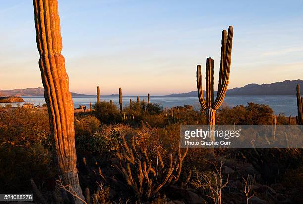 Saguaro cacti guard the shores of the Bahia de Concept'on near the city of Loreto in Mexico's Baja California The isolated beaches an eighteen hour...