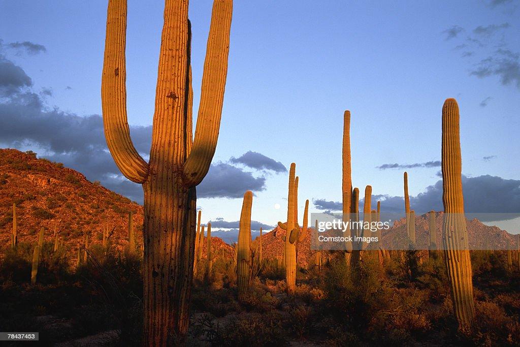 Saguaro cacti in desert : Stockfoto