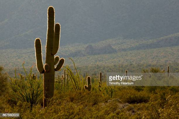 saguaro cacti, ocotillo and other desert plants glow in the sunlight against a dark hillside - timothy hearsum stock pictures, royalty-free photos & images