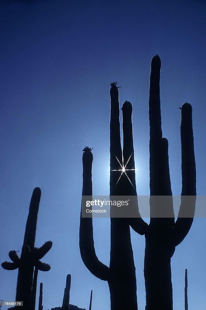 Saguaro cacti : Stockfoto