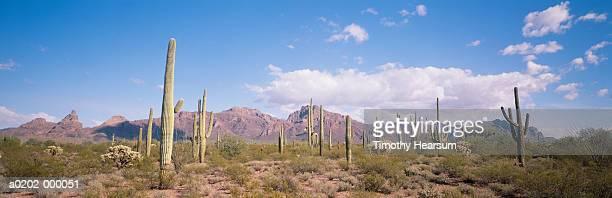saguaro cacti - timothy hearsum stock-fotos und bilder