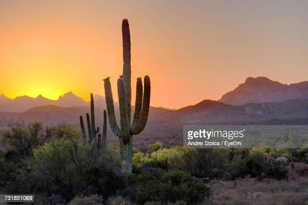 saguaro cactus and trees growing on field against sky during sunset - saguaro cactus stock pictures, royalty-free photos & images