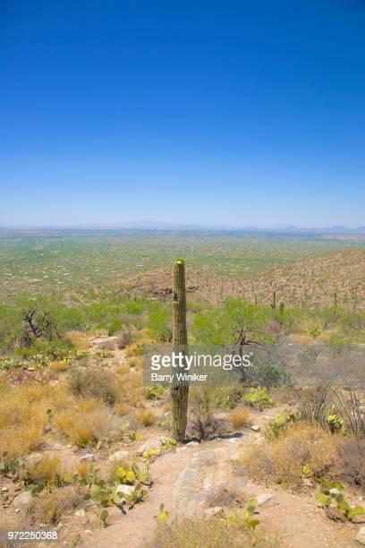 saguaro cactus at mt. lemmon near tucson, az - mt lemmon stock photos and pictures