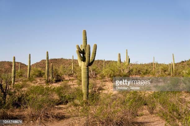 saguaro cactus (carnegiea gigantea) at sonora desert, organ pipe cactus national monument, arizona, usa - planchas_de_plata,_sonora stock pictures, royalty-free photos & images