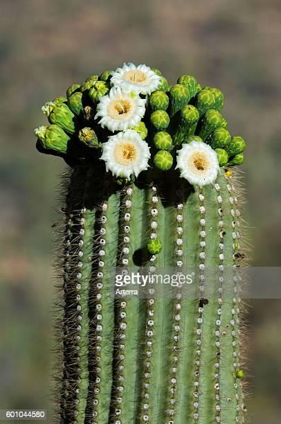 Saguaro cactus blooming showing buds and white flowers Sonoran desert Arizona USA
