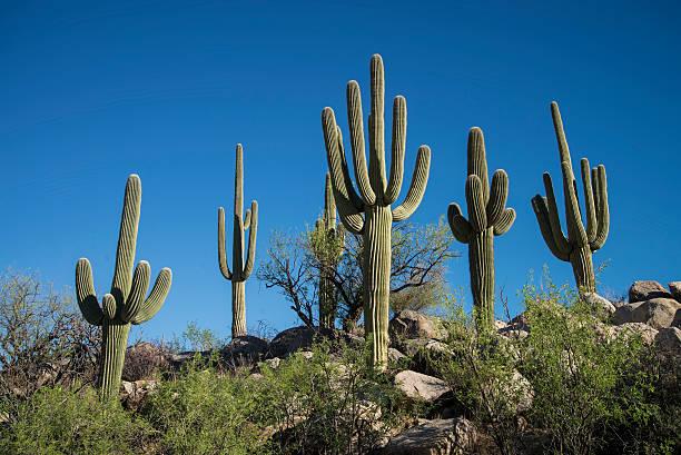 Saguaro Cactus, Catalina State Park Wall Art