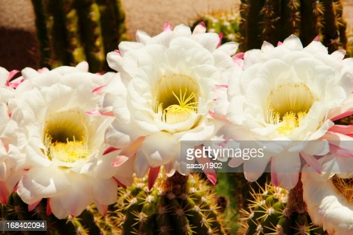 159 Saguaro Cactus Blossom Photos And Premium High Res Pictures Getty Images