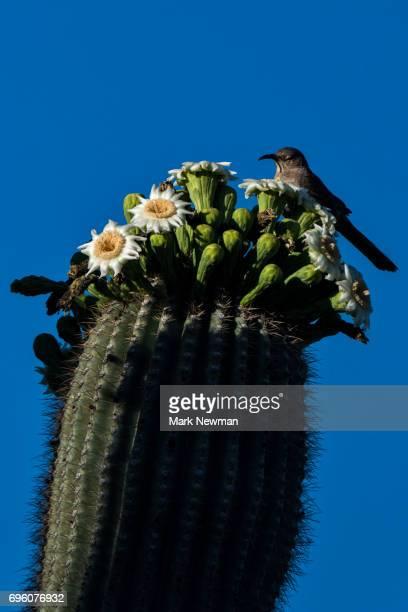 Saguaro Cactus, flowering
