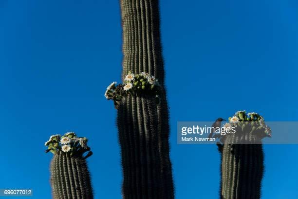 saguaro cactus, flowering - mark bloom - fotografias e filmes do acervo